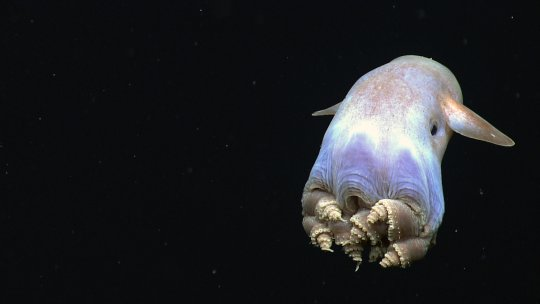 A deep sea octopus
