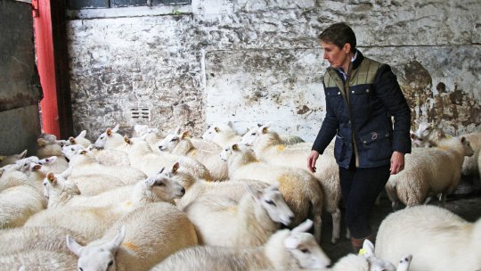 A woman farmer looks at her flock of sheep