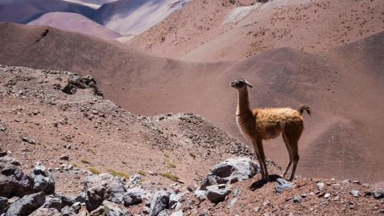 A lama standing in a dry mountain landscape.