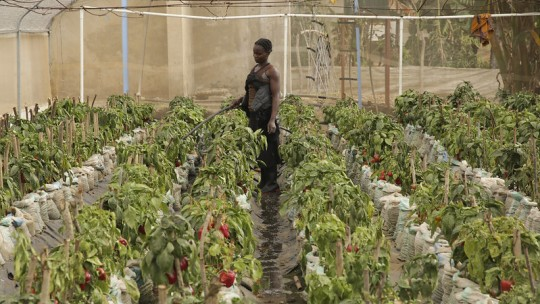 Woman holds a hose in a greenhouse of pepper plants
