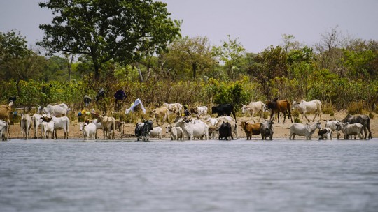 Cattle drinking water from a lake