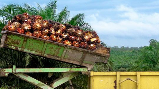A batch of palm oil fruit bunches in Borneo. Demand for palm oil is set to double by 2030. (Photo: Rainforest Action Network)