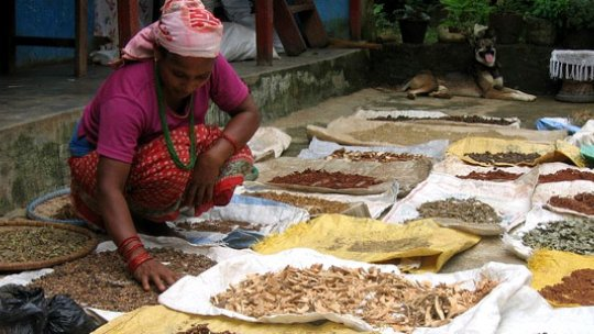 Drying medicinal plants, the knowledge of which is passed down through generations. In South Asia alone, there are more than 8,000 plant species with known medicinal value (Photo: Bioversity International/B. Sthapit)