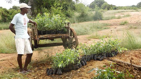 Seedlings are the first step in reforesting the rehabilitated sapphire mines in Ankiliabo (Photo: Andry Rabemanantsoa/GIZ PAGE Madagascar)