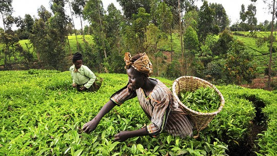 Tea pickers in Kenya's Mount Kenya region; smallholder folders in Least Developed Countries would be adversely affected by climate change (Photo: Neil Palmer/CIAT, Creative Commons, via Flickr)