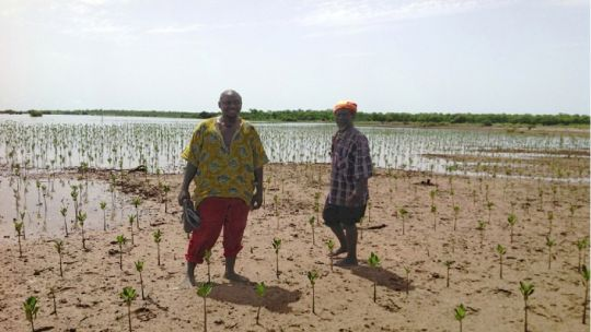 Inspecting mangrove seedlings: The Gambia's mangroves and other wetland ecosystems are important croplands and critical breeding habitats for commercially valuable fisheries species (Photo: Isatou F. Camara)