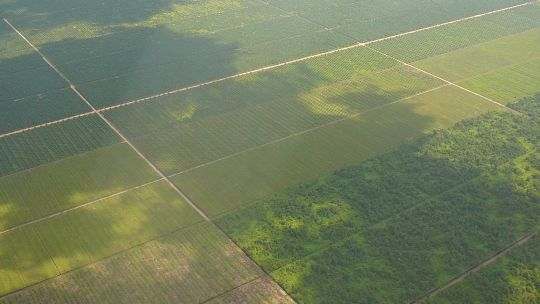 Large scale oil palm plantations in Borneo. It is estimated that two thirds of Indonesia's palm oil production is managed by multinational companies (Photo: Rainforest Action Network via Creative Commons)