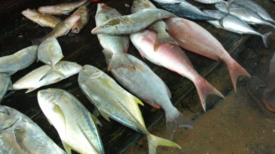 Fish for sale in a Sri Lankan market. Credit: Dhammika Heenpella (Flickr / http://creativecommons.org/licenses/by/2.0/)