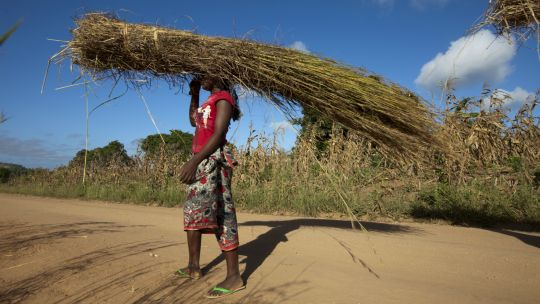 A woman carries crop stalks