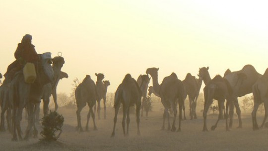 A man leads a herd of camels with the sun setting behind them.