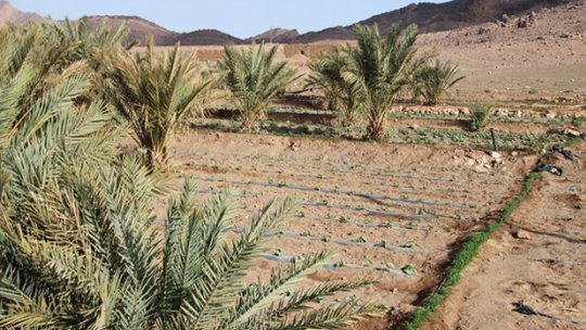 A desert scene with plants growing in rows.