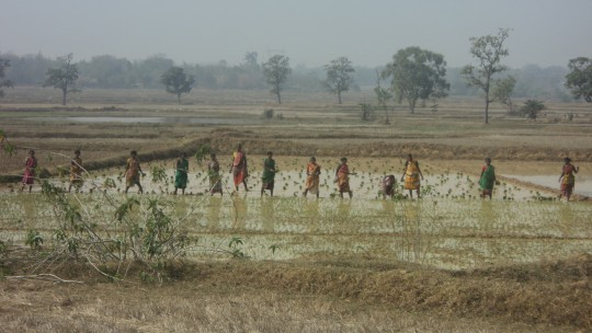 Indian women working a rice field