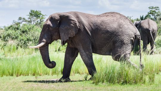 An elephant in Uganda's Murchison Falls National Park. Efforts to combat illegal trade in high-value commodities such as tusks depend largely on the support of local communities.(Photo: Jurriaan Persyn, Creative Commons via Flickr)