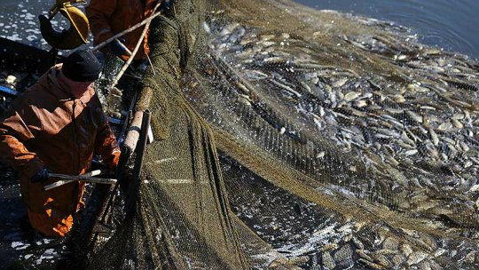 A fisherman looks at his latest huge catch of fish caught in nets