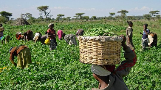 A women with a basket on her head watches other women and children pick green beans in a field