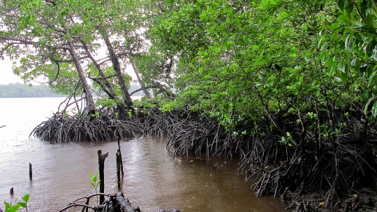 A green mangrove forest on the edge of a lake, with the roots of the mangroves exposed
