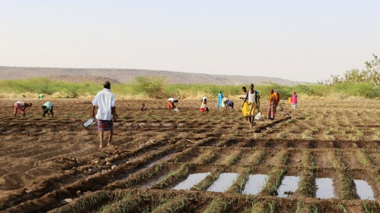 Farmers carry bottled water to pour on a field of onion crops