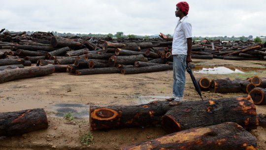 A man stands on a cut down tree amid a landscape of timber