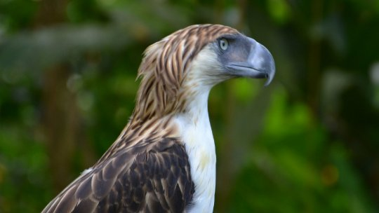A side-on view of the head of a Philippine Eagle, with brown and white coloured plumage, and a shaggy crest