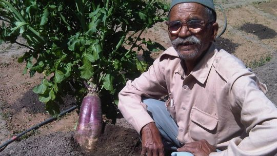 A new radish variety shown off by Dayanand Joshi