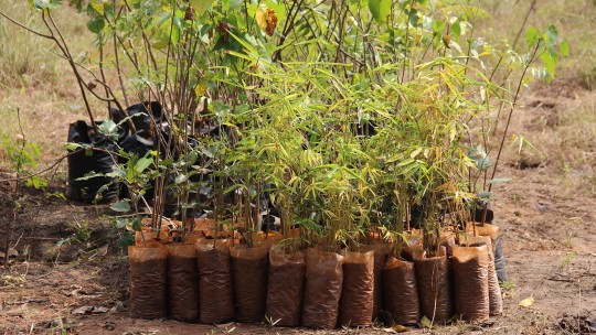 A collection of saplings, with green foliage, are bundled together
