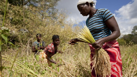 Women in a field bend over to harvest crop