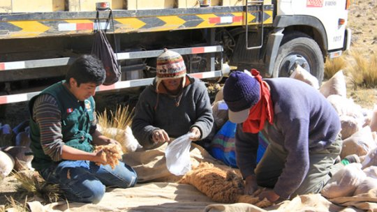 Three people with a pile of vicuña wool