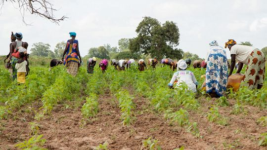 Agriculture is crucial to Senegal's economy, employing more than 60% of the population (Photo: Jelle Goossens/vredeseilanden, Creative Commons via Flickr)