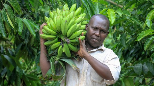 Sulait Ssemwezi carrying a large bunch of bananas.