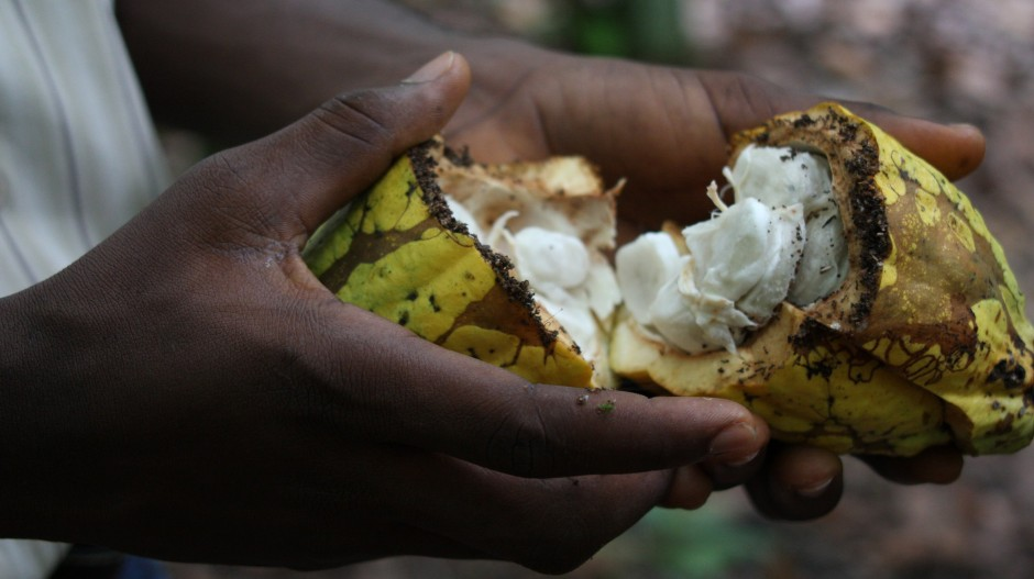 Close-up of a hand holding a broken raw cocoa fruit