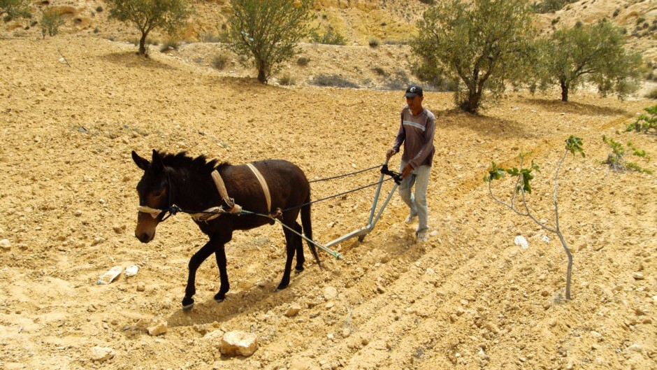 A man and a horse plough a dry-looking field.